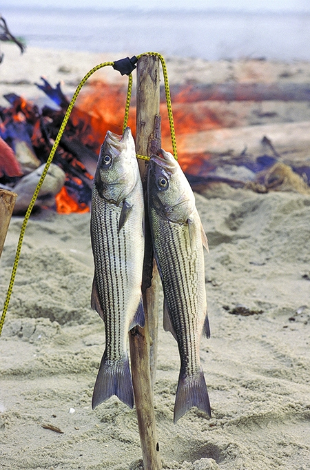 A federal stock assessment has found that striped bass are being overfished in the Chesapeake Bay and along the East Coast. (Bay Journal photo by Dave Harp)