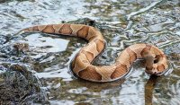 Copperhead in Water.jpg
