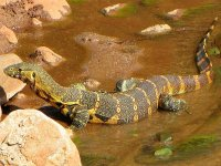 outdoorhub-cat-eating-monitor-lizards-invade-florida-officials-ask-public-for-help-2015-04-15_15.jpg