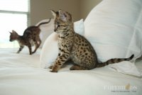 savannah-kittens-455.jpg