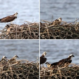 Osprey Day