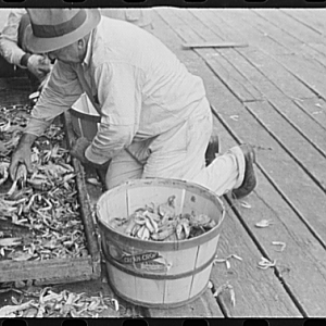 Sorting the cooked crabs for shipping. Rock Point, Maryland, 1941